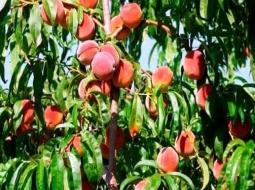 Şeftali/Prunus persica