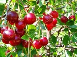 Vişne/Prunus cerasus