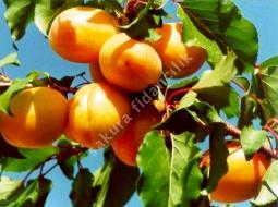 Kayısı/Prunus armeniaca