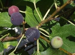 İncir/Ficus carica