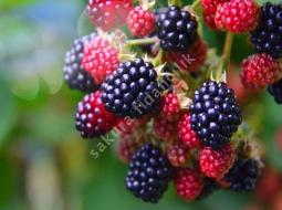Aşılı Böğürtlen/Rubus fruticosus