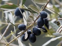 Zeytin/Olea Europaea
