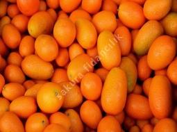 Kamkat  /Citrus fortunella margarita