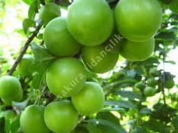 Yeşil Erik/Prunus domestica