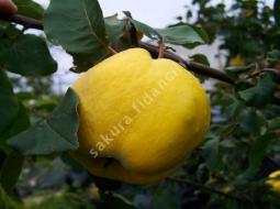 Ayva/Cydenia vulgaris