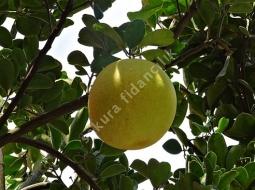 Greyfurt/Citrus Paradisi