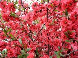 Bahar Dalı/Chanomeles japonica