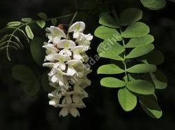 Akasya/Robinia Pseudoacacio