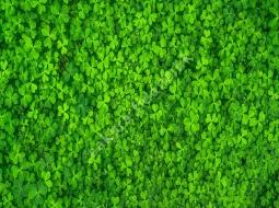 Süs Yoncası tohumu/Trifolium Repens
