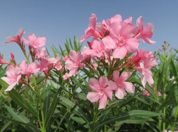 Zakkum/Nerium Oleander