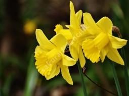 Nergis/Narcissus