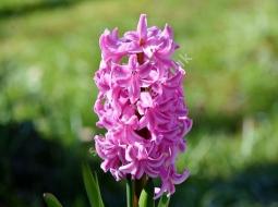 Sümbül/Hyacinthus orientalis