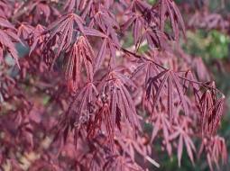 Kırmızı Yapraklı Japon Akçaağacı/Acer palmatum atropurpureum