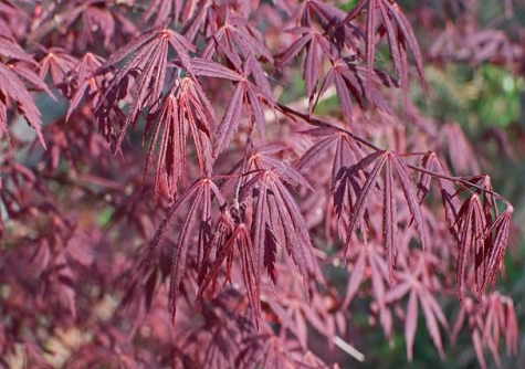 Kırmızı Yapraklı Japon Akçaağacı