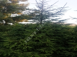 Batı Ladini/Picea abies