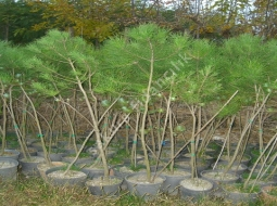 Fıstık Çamı  /Pinus Pinea